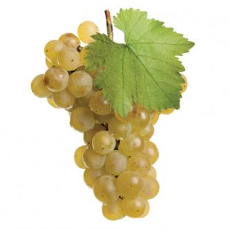 """<p class=""""nom"""">Danlas<p class=""""description"""">Ses baies translucides, de taille moyenne, sont souvent ambrées. Sa peau fine, blanche et dorée protège une pulpe moelleuse et juteuse. Bon équilibre sucre acidité</p><p class=""""disponibilite"""">août à septembre</p>"""