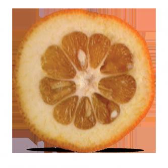 """<p class=""""nom"""">Les amères de Corse</p><p class=""""description"""">Leur peau épaisse, leur faible volume de chair les destinent particulièrement aux préparations culinaires (confitures, fruits confits, vin d'orange…) Très astringentes, elles ne peuvent être mangées telles quelles .</p><p class=""""specificite"""">amère</p><p class=""""disponibilite"""">janvier à février.</p>"""